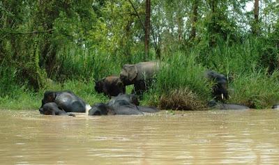 Sukau - Elephants